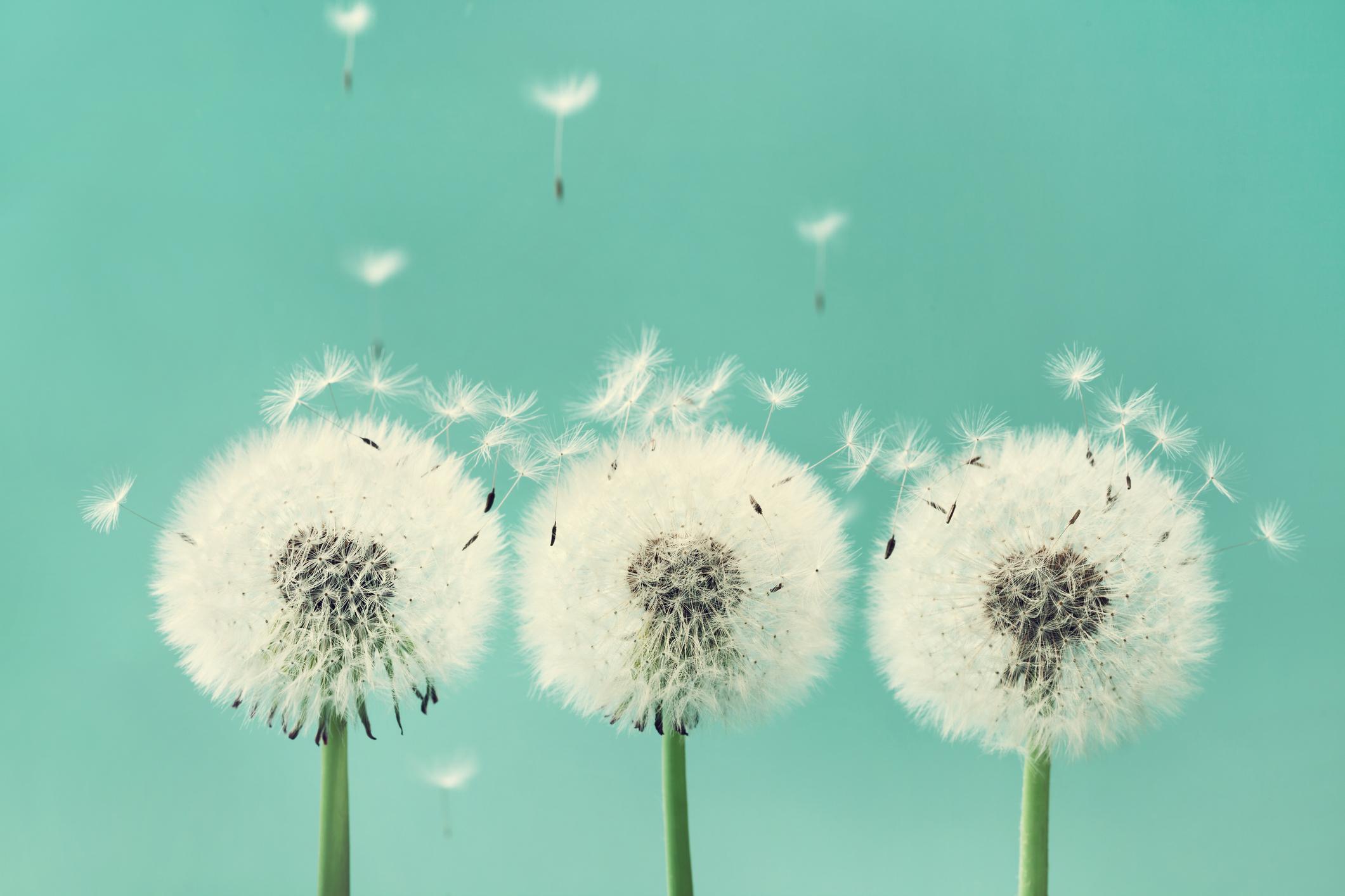 3 dandelion flowers